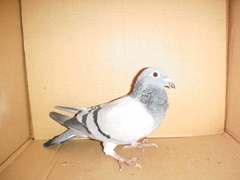SION_RACING_PIGEON.